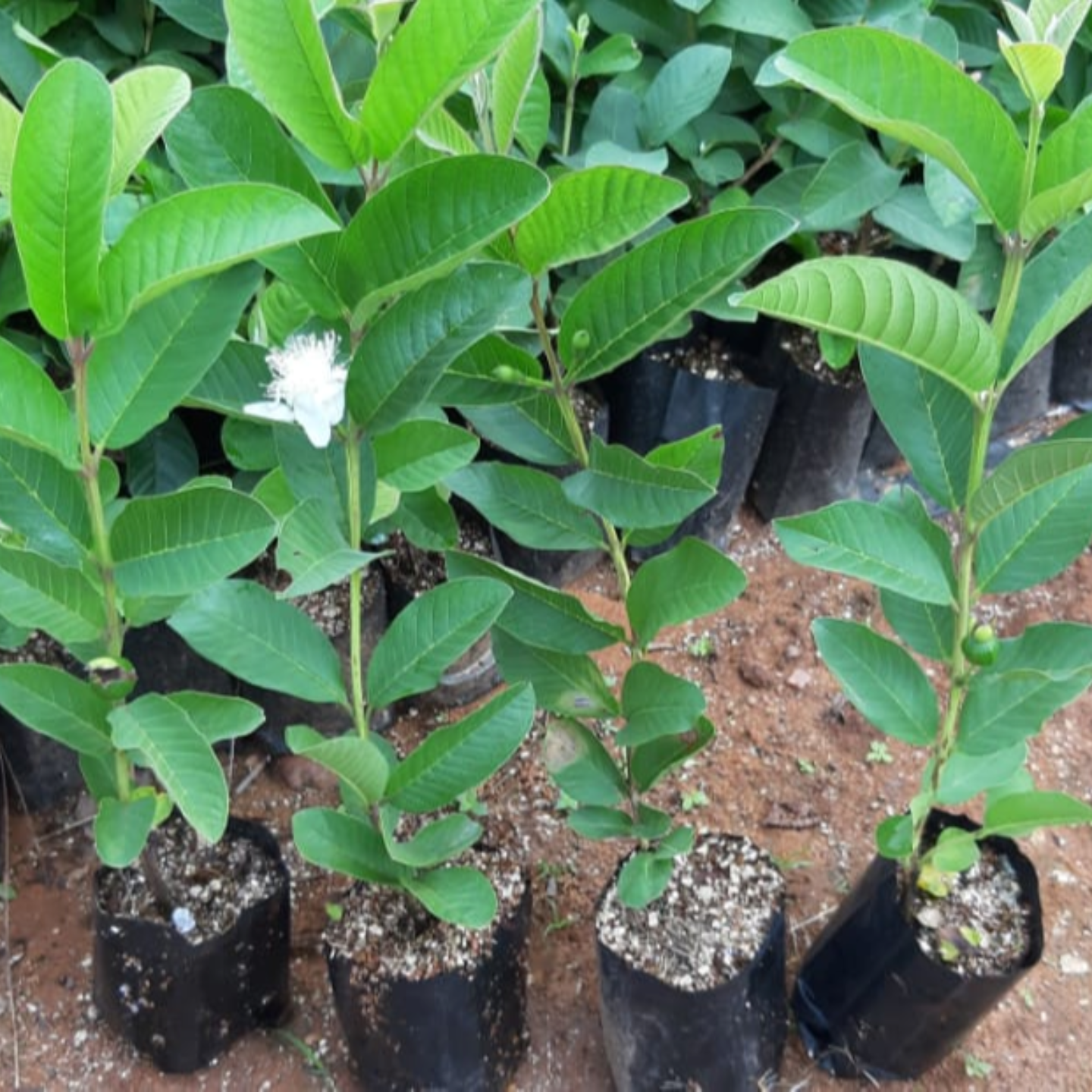 Taiwan pink Clone Plant 500 plants 45 rupees per plant