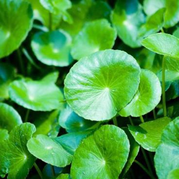 BRAHMI Fresh Leaf - ಒಂದೆಲಗ ಸೊಪಪು 100 Gms Bunch