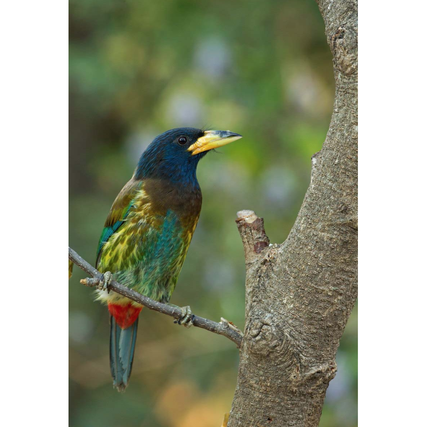 Colors | Great Barbet